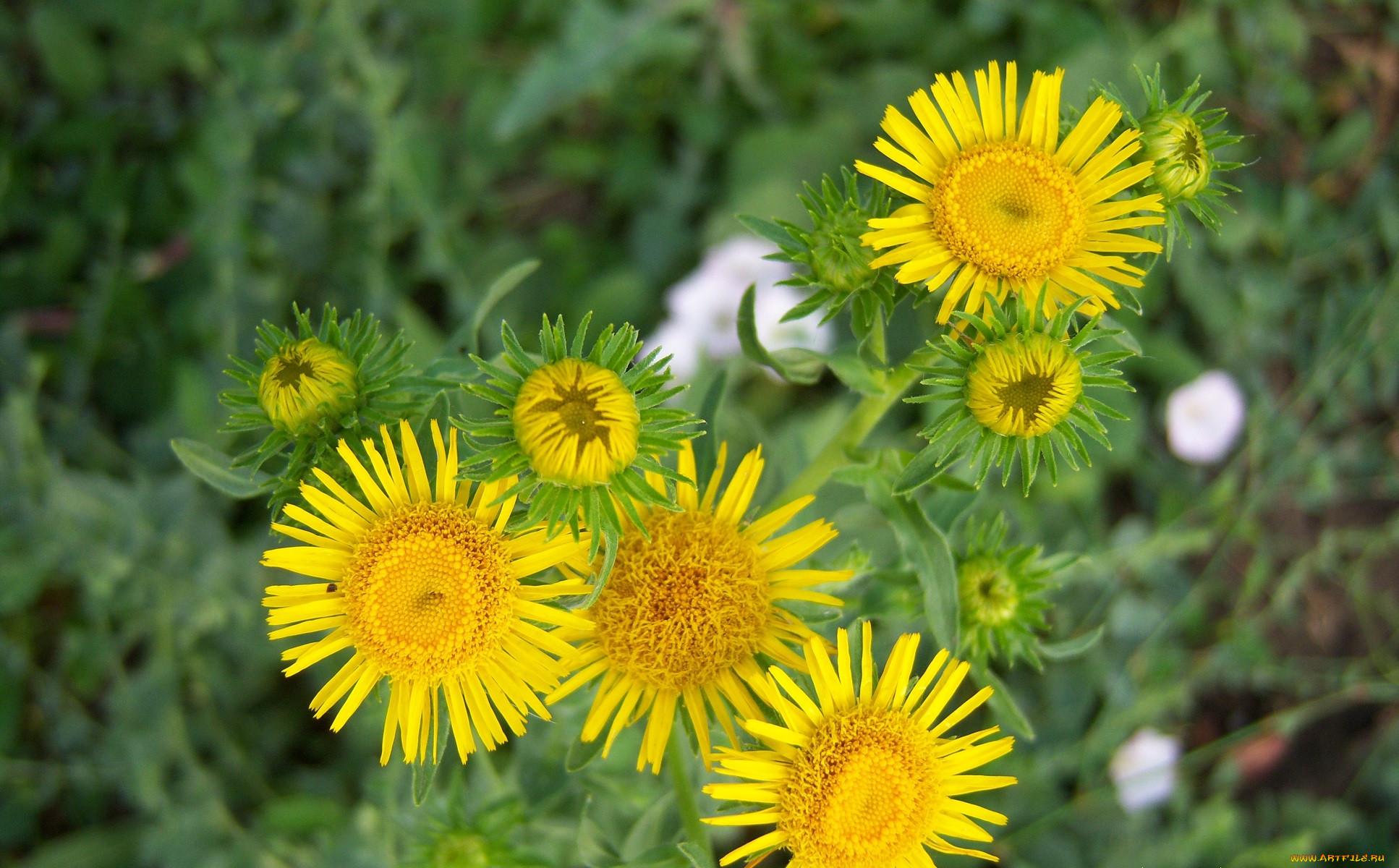 желтые цветы фото с названиями полевые описание заболевание